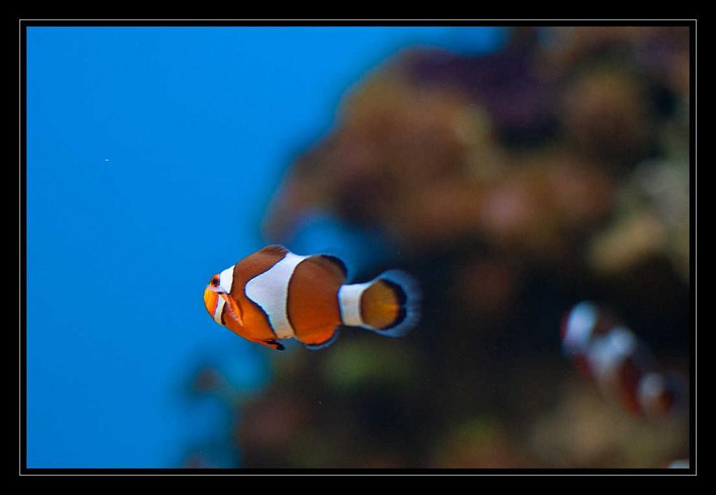 Eine Annemonenfisch - Clownfisch, mit seinen drei weißen Streifen auf dem orangefarbenen Körper schwimmt durchs Aquarium.