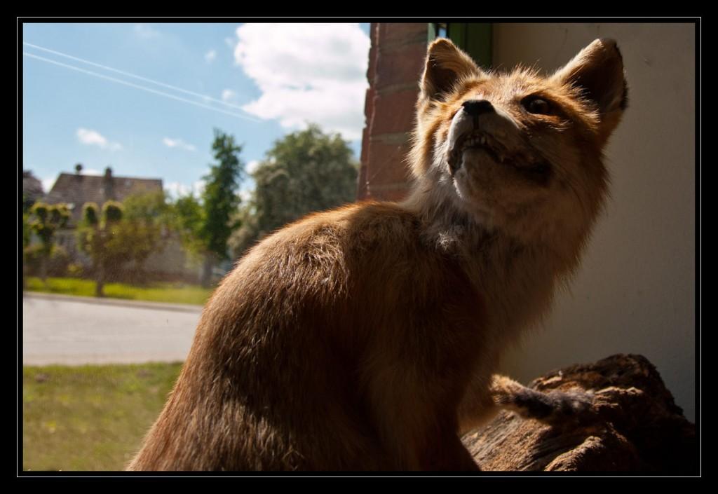 Ein grimmig schauender Marderhund auf einem Fensterbrett. Der Marderhund hebt seinen Kopf in die Höhe und zeigt seine Zähne. Das Fell auf seinem Rücken, seine Ohren und sein Gesicht leuchten fast goldgelb, da Sonne durch ein Fenster auf das Tier fällt.