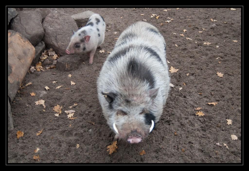 Foto: Ein junges Hängebauchschwein mit seinem schwarz-weiß gefleckten Fell, das sehr kontrastreich daherkommt.