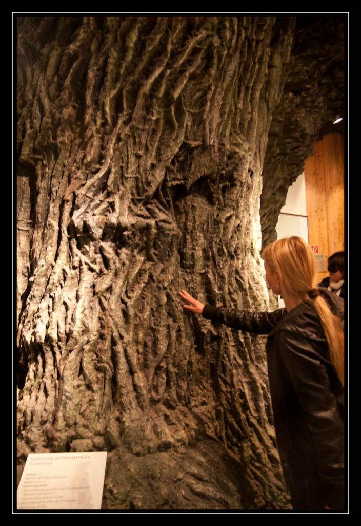 Foto: Teil des Stammes einer 1.200 Jahre alten Ivenacker Eiche