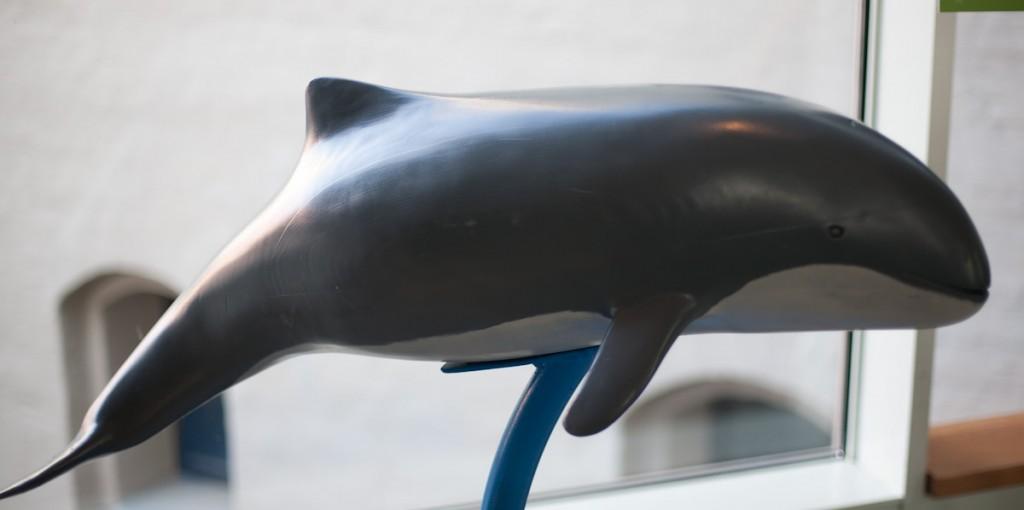 Modell eines gewöhnlichen Schweinswals. Der Wal ist von der Seite aufgenommen, wobei die dunkelgraue Färbung am Rücken deutlich hervorsticht. Links im Bild befindet sich die Fluke, in der Mitte die Finne und ganz rechts die Schnauze.