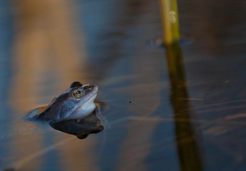 Moorfrosch schaut mit dem Kopf aus dem Wasser