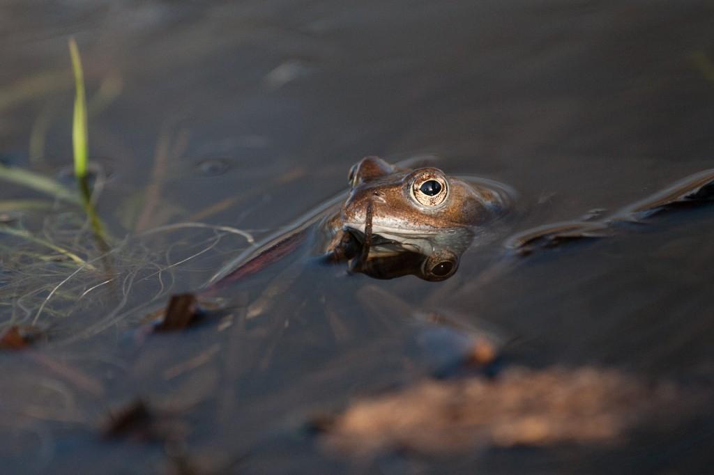 Frosch schaut mit dem Kopf aus dem Wasser