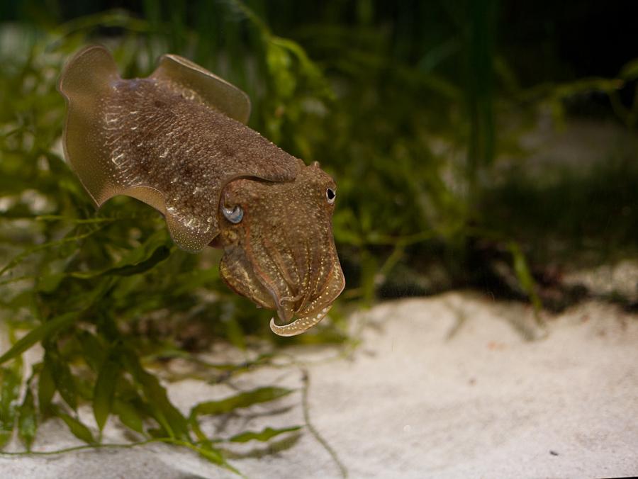 Foto: Ein Bewohner eines Aquariums in einem braunen, wabbligen Schuppenkleid.